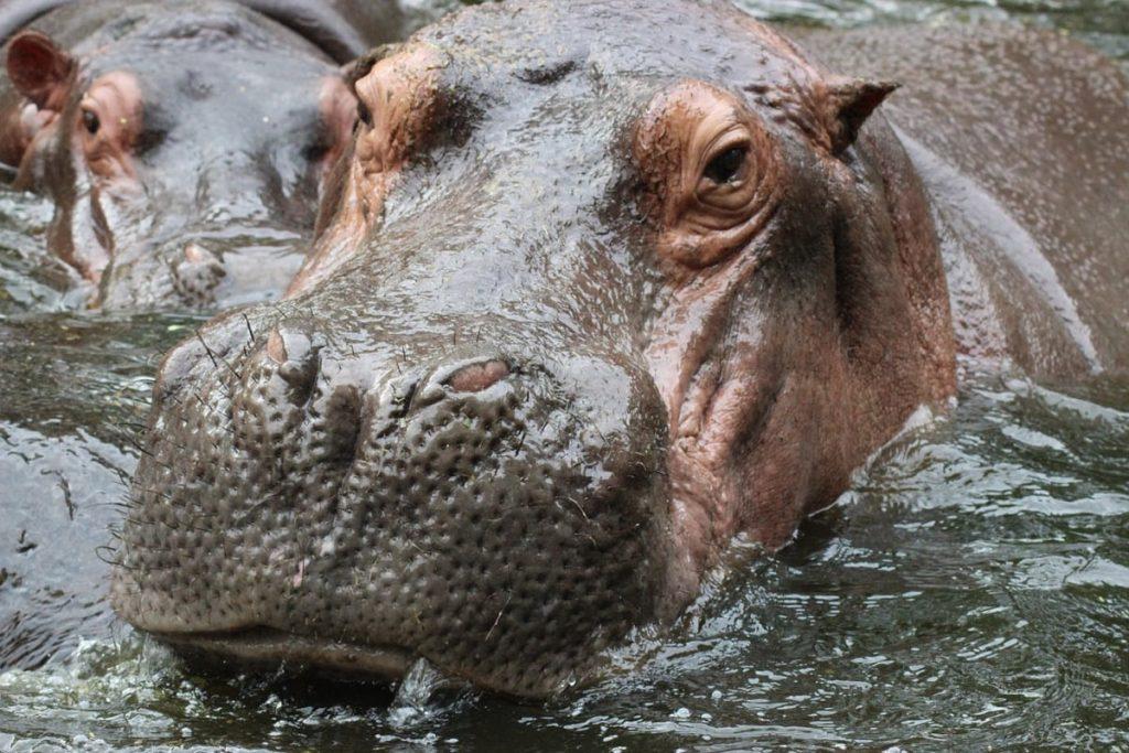 Hippopotamus 979486 1280