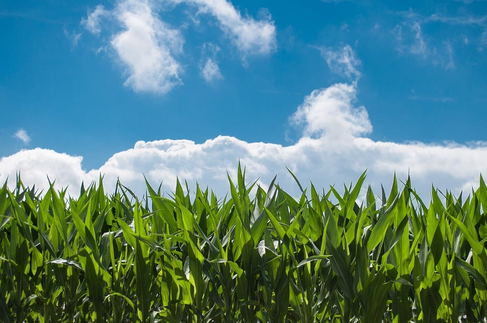 Corn Field 440338 960 720