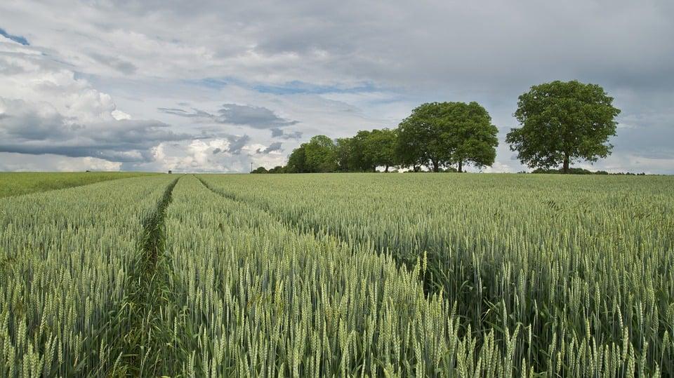 Wheat 175960 960 720